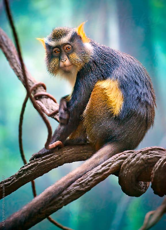 Wolf's Mona Monkey on branch by ALAN SHAPIRO for Stocksy United