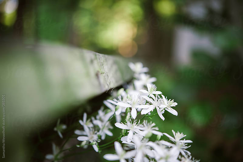 fall blooming clematis on a wooden railing by Samantha Wesselhoft for Stocksy United