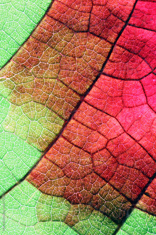 Red grape vine leaf in fall macro by Marcel for Stocksy United
