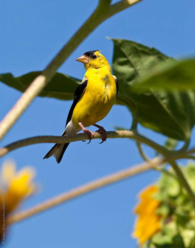 Wild Canary Bird Closeup by Brandon Alms for Stocksy United