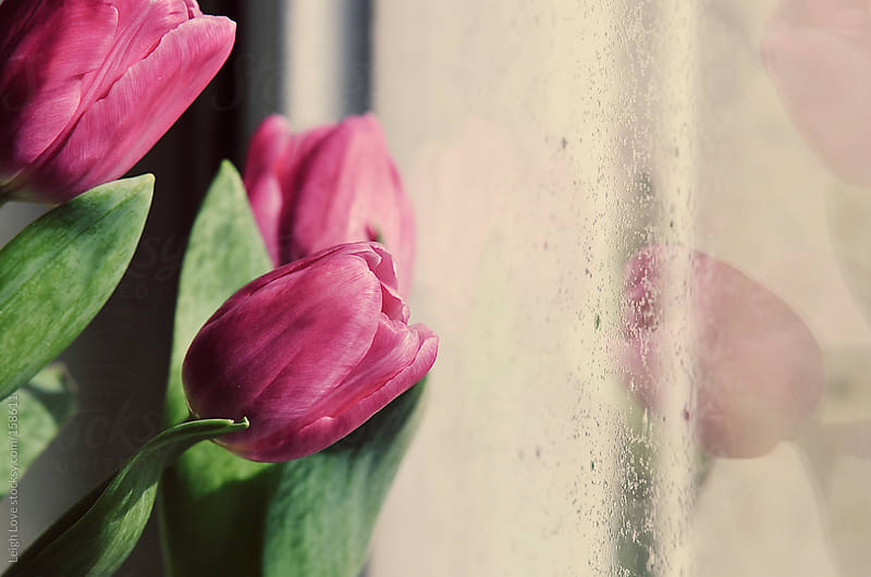 Pink Tulips and Reflection in Raindrop Spotted Window by Leigh Love for Stocksy United
