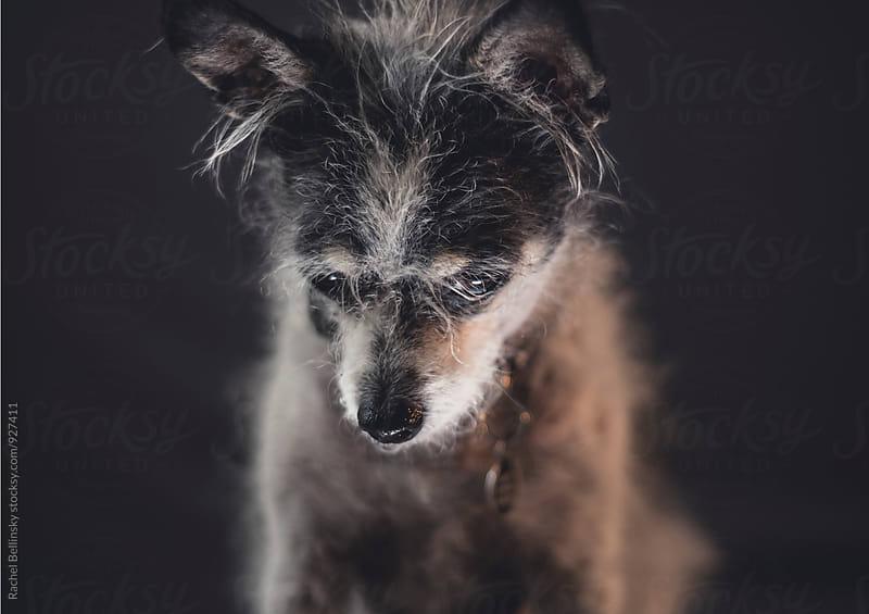 Portrait of a terrier dog by Rachel Bellinsky for Stocksy United