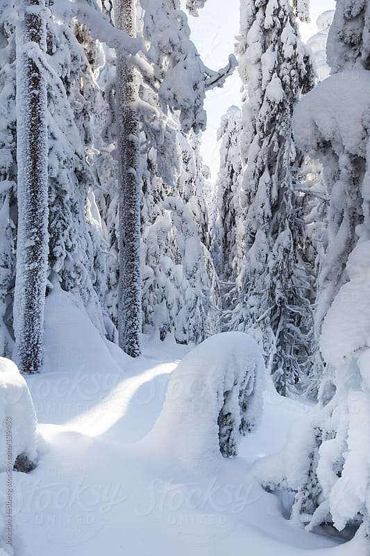 A dense pine tree forest covered in thick snow by Jonatan Hedberg for Stocksy United
