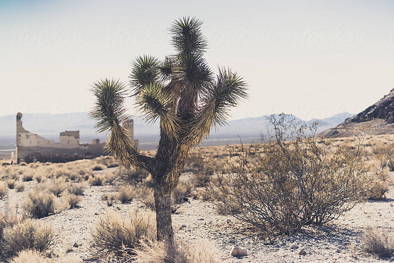 Joshua Trees by Richard Brown for Stocksy United