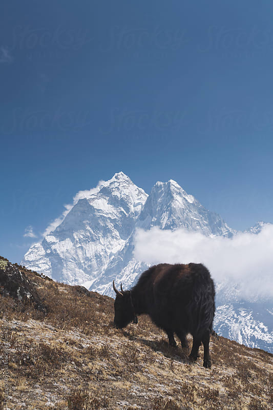 Yak on a mountain by Dejan Ristovski for Stocksy United
