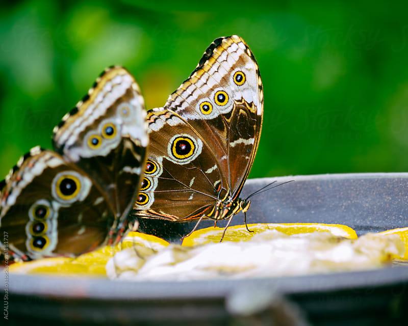 Butterflies eating oranges by ACALU Studio for Stocksy United