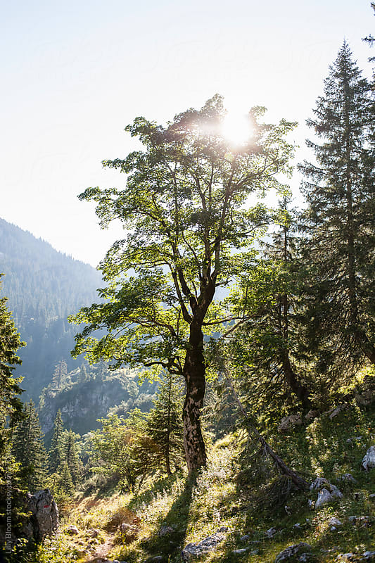 Huge tree at the alps by Lilly Bloom for Stocksy United