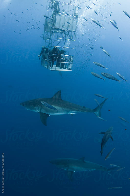 Two Great White Sharks and a Shark Cage by Shane Gross for Stocksy United