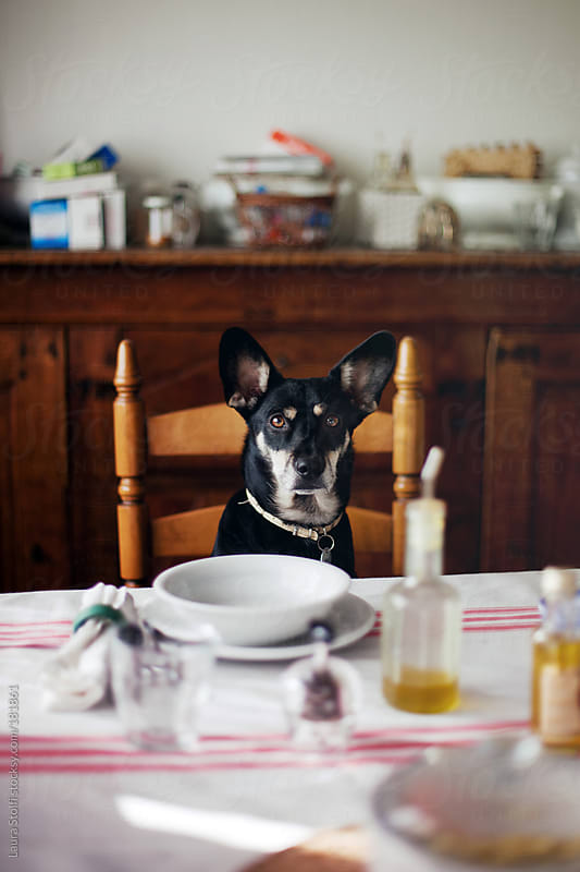 Shall we eat? Dog sitting at the table waits for food by Laura Stolfi for Stocksy United