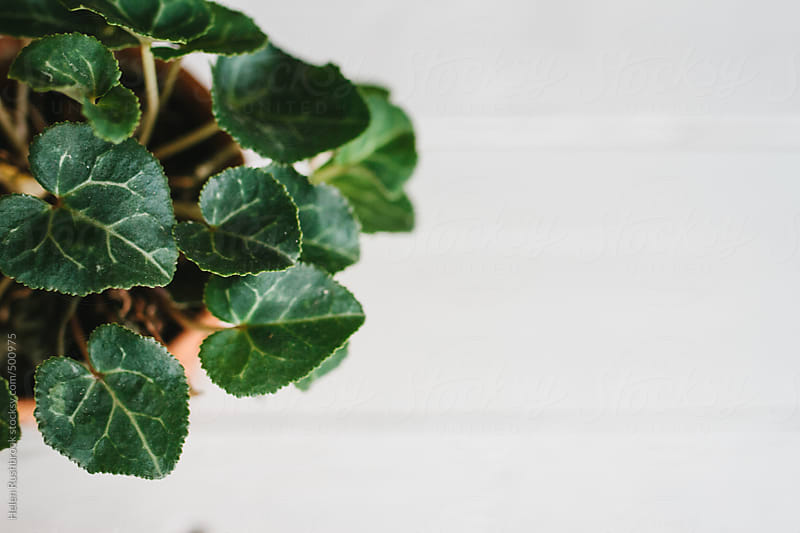 A cyclamen plant by Helen Rushbrook for Stocksy United