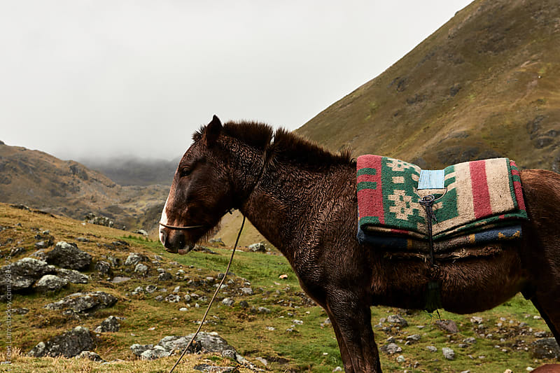 Brown horse on meadow in Peru by Trent Lanz for Stocksy United
