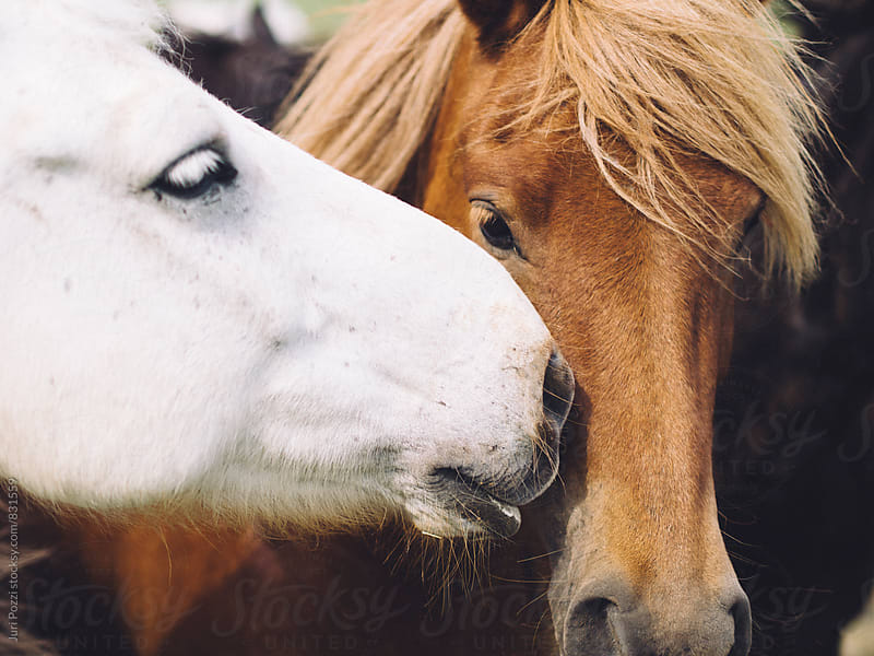 white and brown horses together by Juri Pozzi for Stocksy United