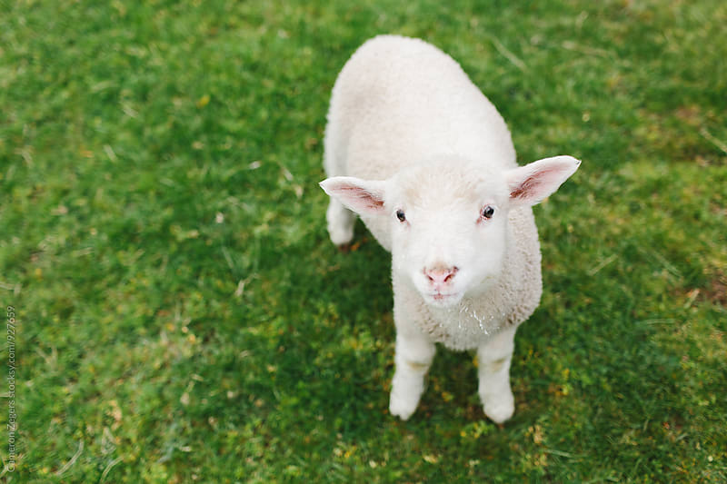 little lamb in green pasture by Cameron Zegers for Stocksy United