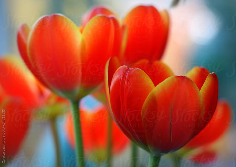 Close up of beautiful orange tulips in natural light by Carolyn Lagattuta for Stocksy United