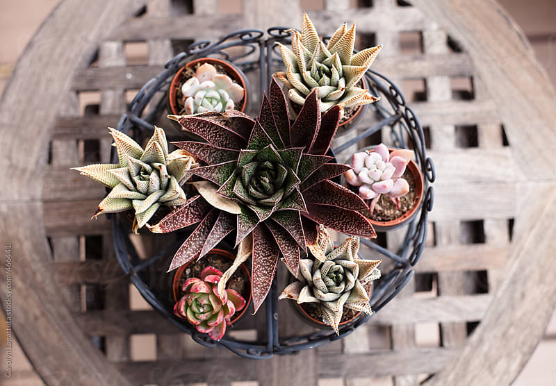 Wire basket full of small, potted succulents on a teak table by Carolyn Lagattuta for Stocksy United