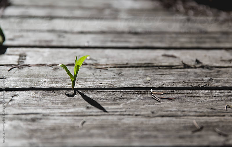 A vibrant small green shoot growing up between old black and white planks by anya brewley schultheiss for Stocksy United