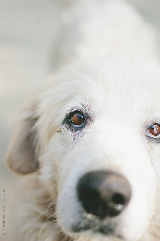 Soulful eyes old sheep dog looks straight at camera by Laura Stolfi for Stocksy United