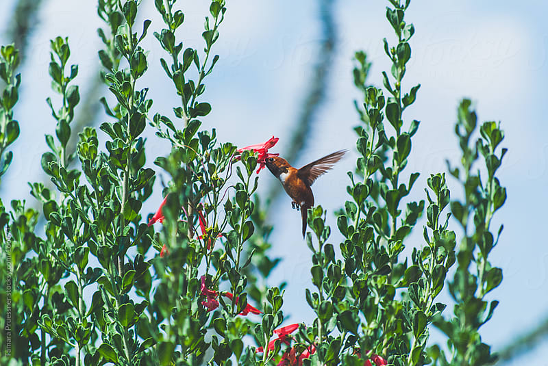 Side View Of Feeding Hummingbird by Tamara Pruessner for Stocksy United