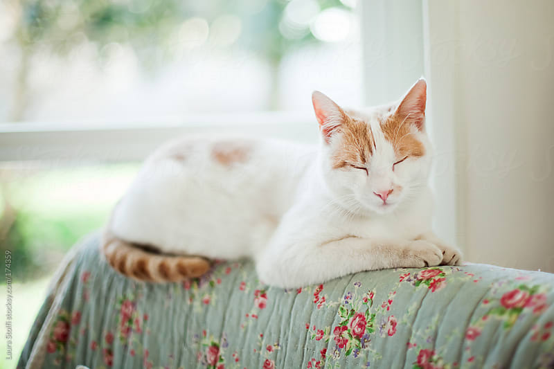 Ginger and white cat sleeping blissfully on flowered armchair's seatback in sunny living room by Laura Stolfi for Stocksy United