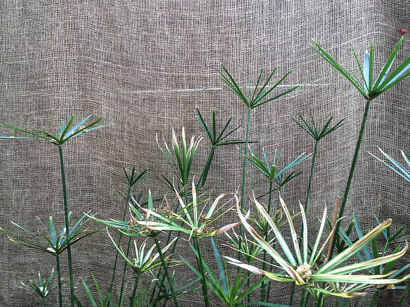 Umbrella plant leaves by kkgas for Stocksy United