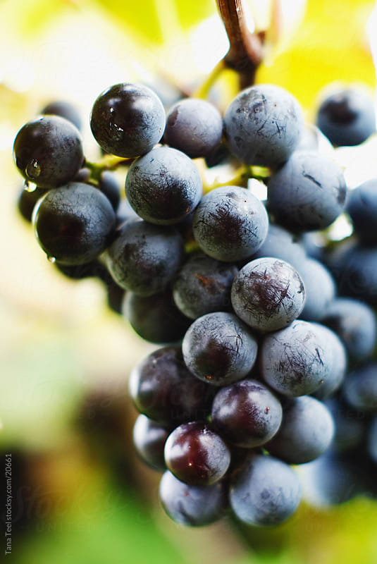 A cluster of ripe jelly grapes.  by Tana Teel for Stocksy United