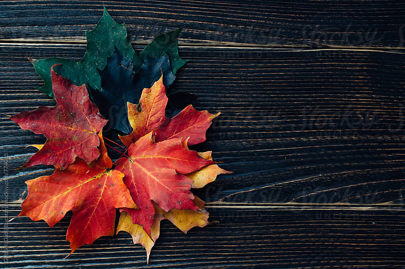 Bright maple fall leaves by Gabriel (Gabi) Bucataru for Stocksy United