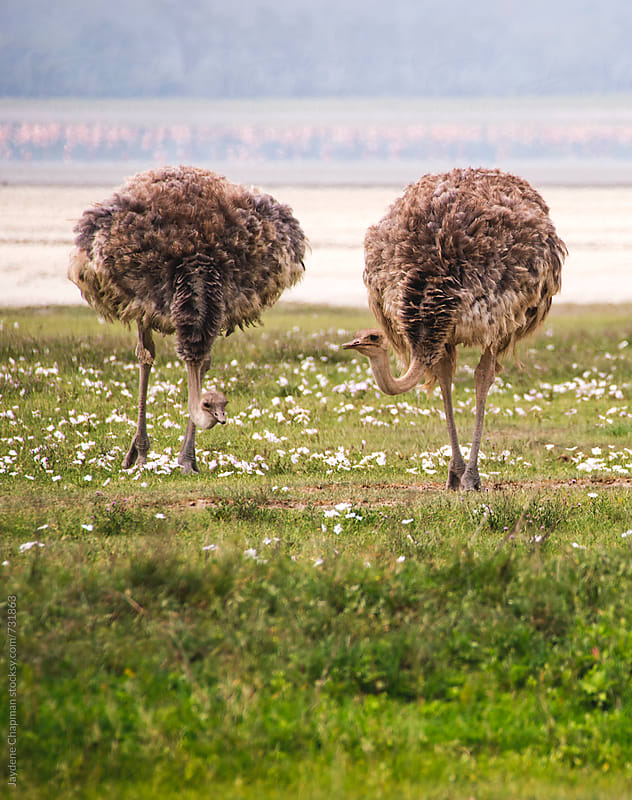 Female Ostrich, Ngorongoro Crater, Tanzania, Africa by Jaydene Chapman for Stocksy United