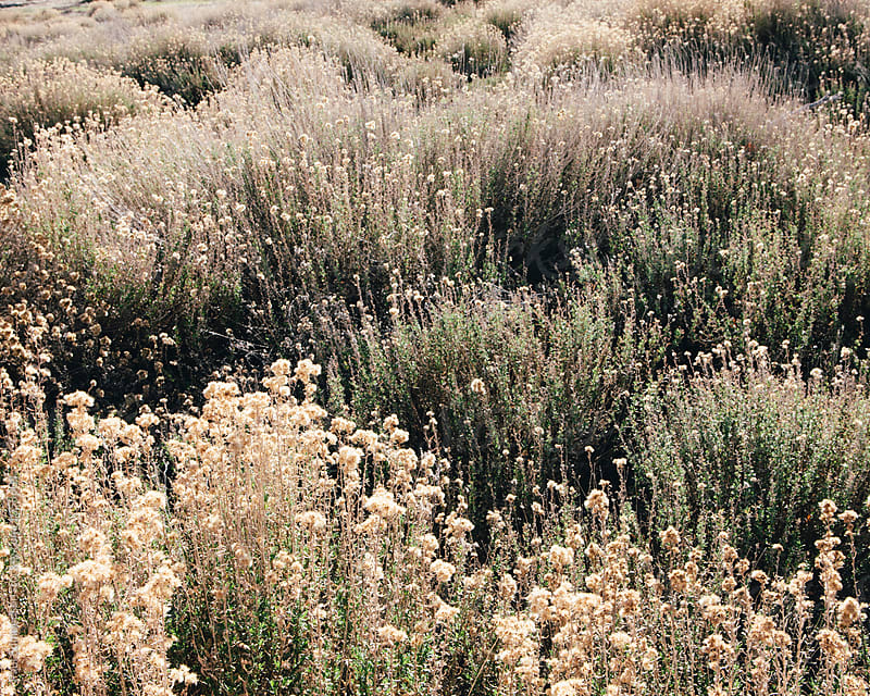 Field of dry wildflowers and sagebrush in autumn, Joshua Tree NP, CA by Paul Edmondson for Stocksy United