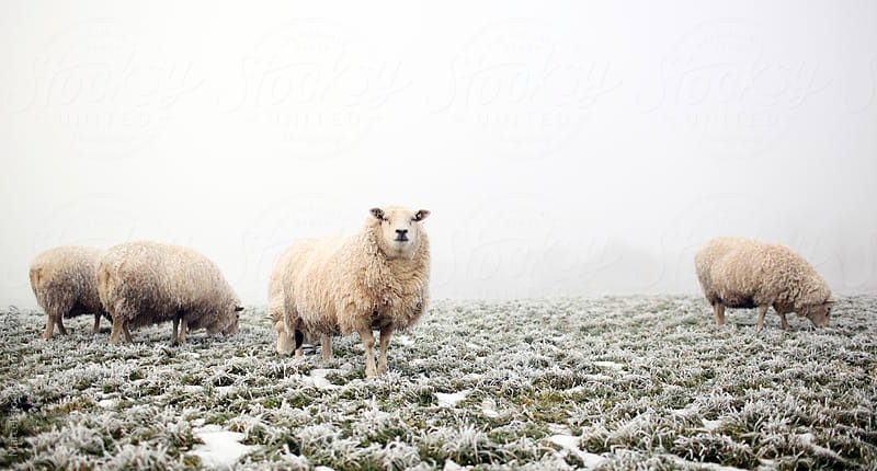 Sheep in winter by Marcel for Stocksy United