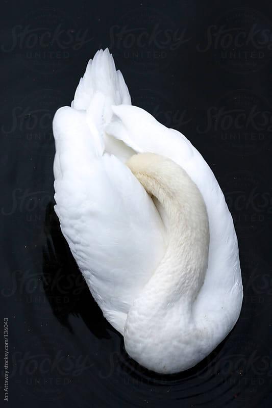 Swan by Jon Attaway for Stocksy United
