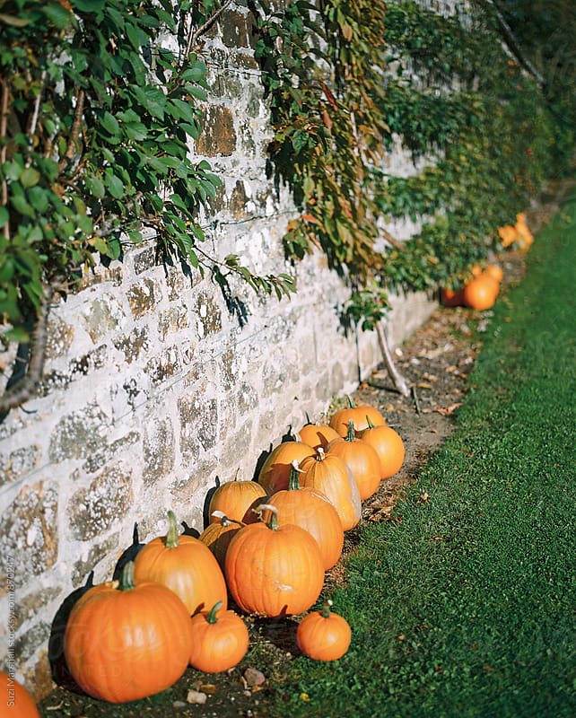 Pumpkins in a row against a wall in a garden by Suzi Marshall for Stocksy United