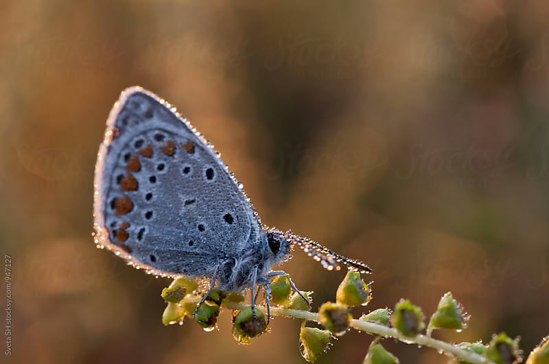 Butterfly covered with dew by Sveta SH for Stocksy United