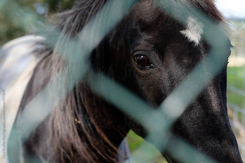 Black horse looking through a fence by Gary Radler Photography for Stocksy United