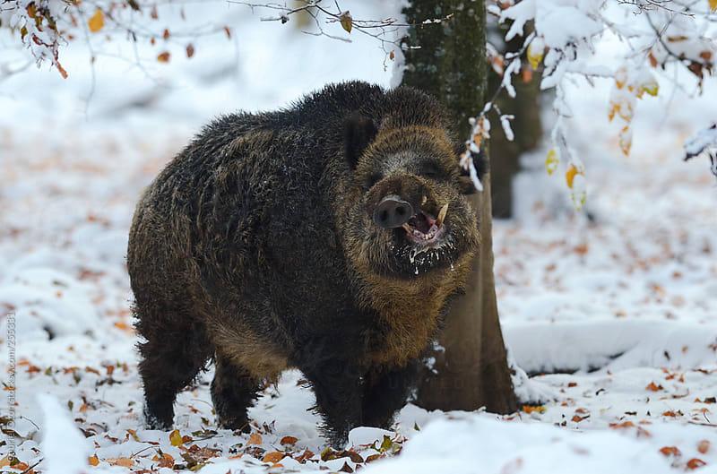 Wild boar by Gabriel Ozon for Stocksy United