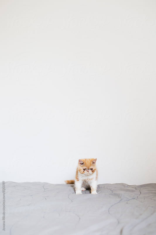 Adorable persian kitten on a bed by Jovana Rikalo for Stocksy United