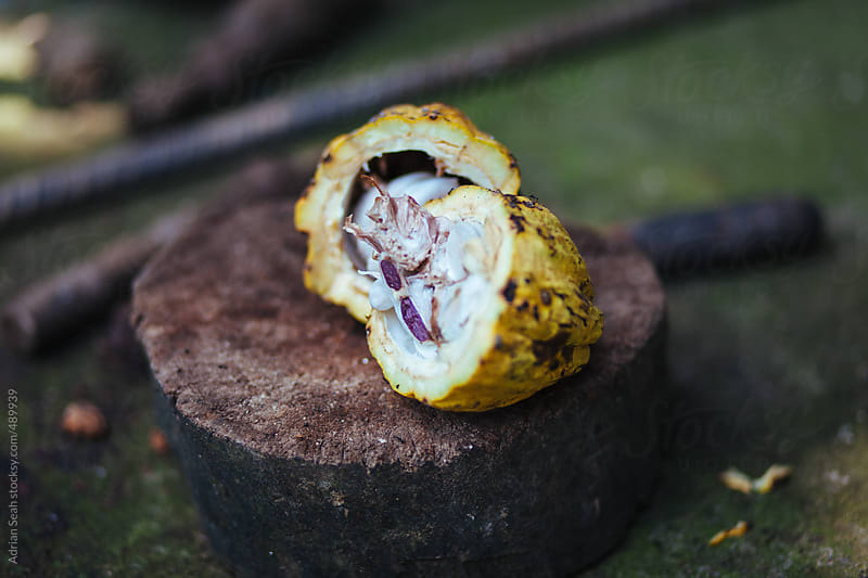 Cocoa fruit split open on a tree stump by Adrian Seah for Stocksy United