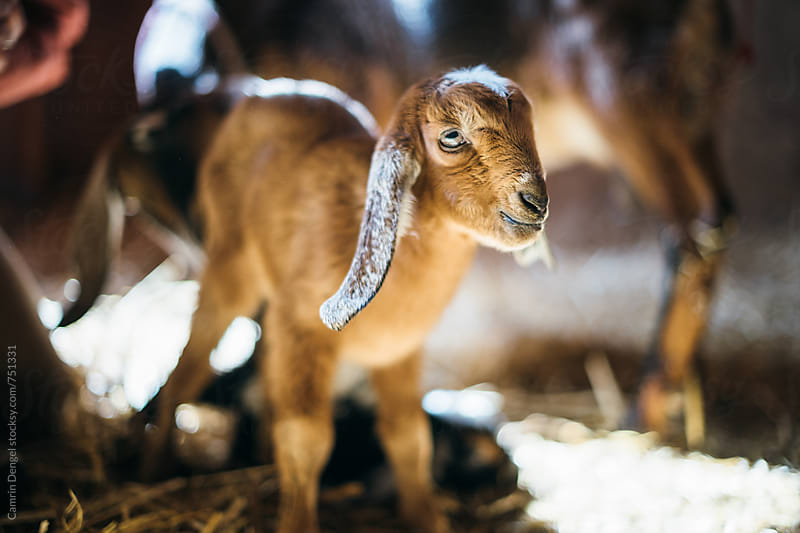 Baby Goat by Camrin Dengel for Stocksy United