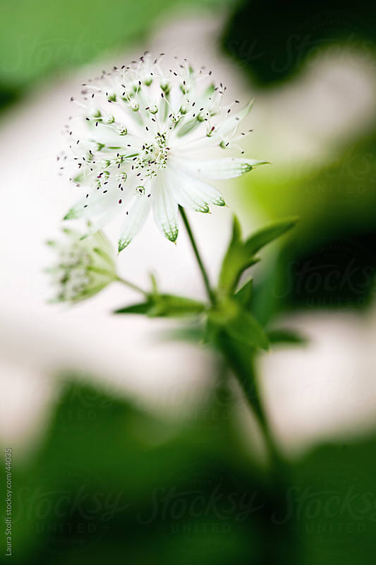 White masterwort (Astrantia major Snowstar) flower and leaves on blurry background by Laura Stolfi for Stocksy United