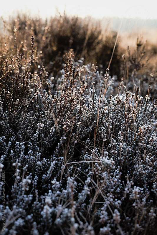 Frozen Heather by Robert-Paul Jansen for Stocksy United