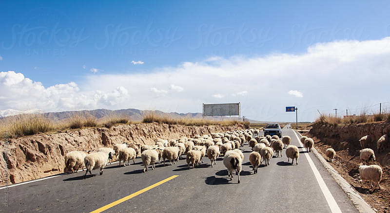 Sheeps across the road by zheng long for Stocksy United
