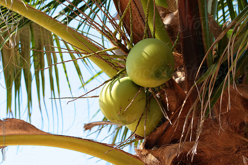 Coconuts on a coconut tree by Ilya for Stocksy United