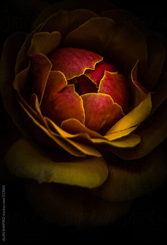 orange and yellow rose by ALAN SHAPIRO for Stocksy United