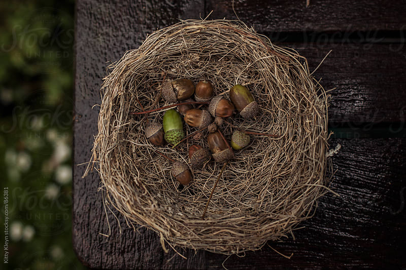 Acorns in a nest by Kitty Kleyn for Stocksy United