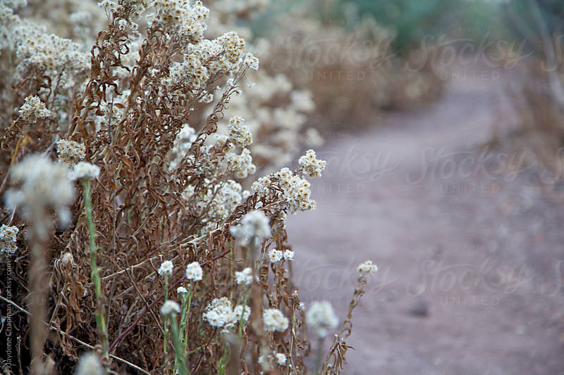 White wildflowers growing beside a path on a walk in Santiago, Chile by Jaydene Chapman for Stocksy United