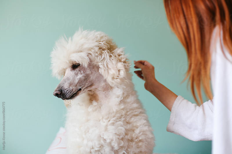redhead woman from behind petting her white royal poodle  by Marija Kovac for Stocksy United