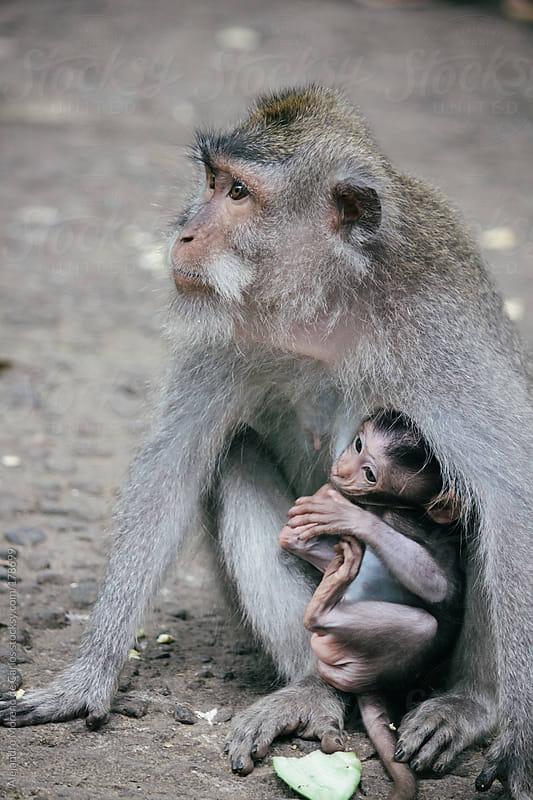 Monkey nursing her baby by Alejandro Moreno de Carlos for Stocksy United