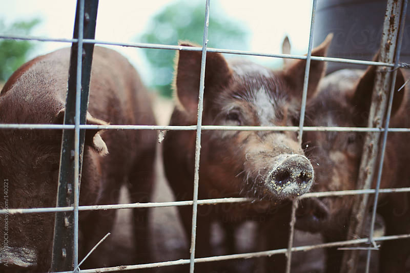 Pigs Through A Fence by ALICIA BOCK for Stocksy United