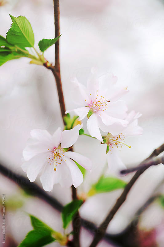Detail of pale pink Cherry flowers on the tree by Laura Stolfi for Stocksy United