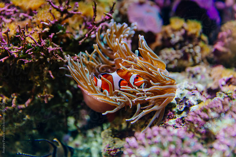 Clown fish hiding in sea anemones by Andrey Pavlov for Stocksy United
