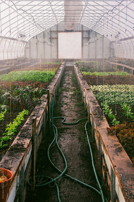 Lettuce Plants Being Watered in a Greenhouse by Deirdre Malfatto for Stocksy United